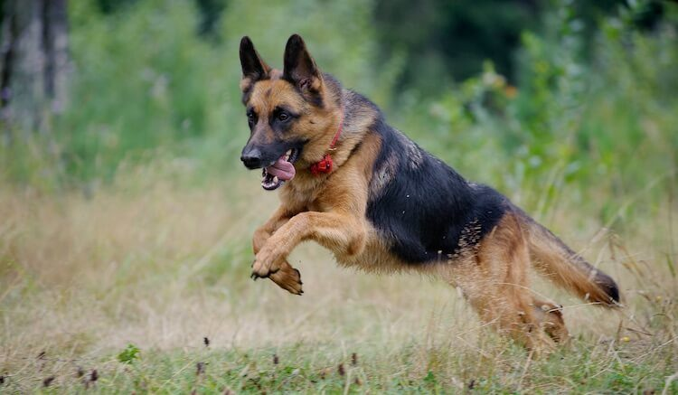 Top 10 German Shepherd Names
