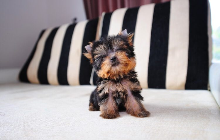Appearance of a Teacup Yorkie