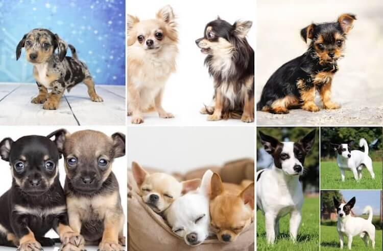 Chihuahua-Mix-Dogs