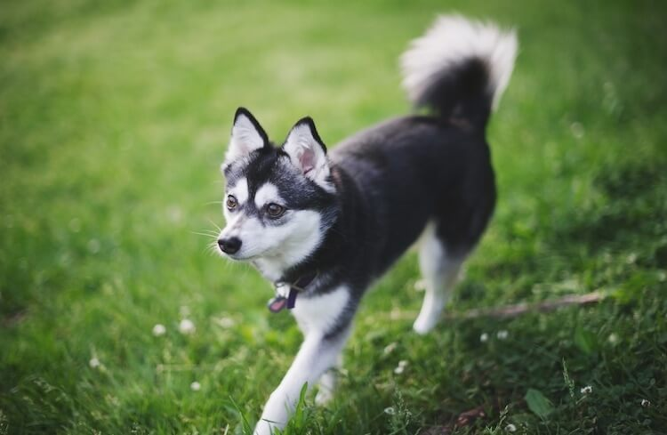 Female Mini Husky