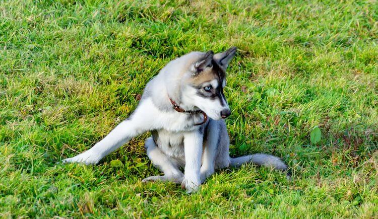 Husky Exercising