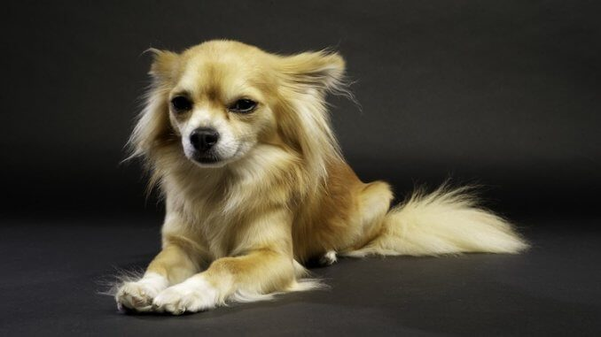 Long Haired Chihuahua Feature