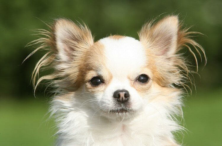 Long Haired Chihuahua Portrait