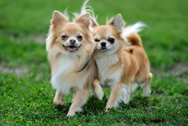 Long Haired Chihuahua Puppies