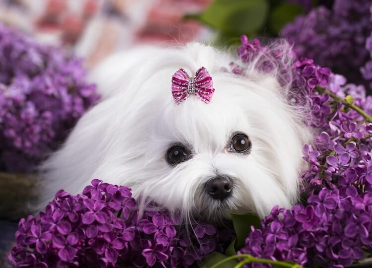 9 Fascinating And Little Known Facts About A Teacup Maltese – All