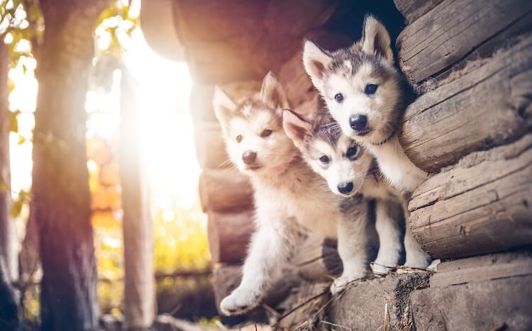 Mini Huskies