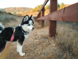 Miniature Husky What To Know About Mischievous Mini Huskies Cover