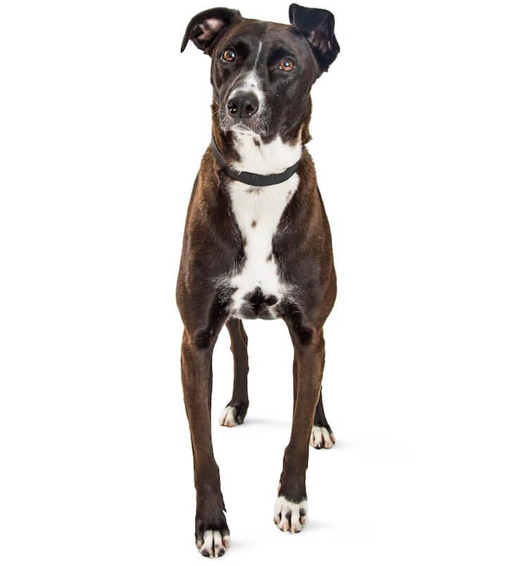 Mountain Cur Mix