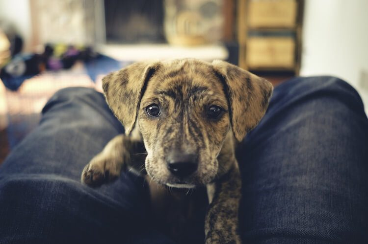 Mountain Cur Puppy
