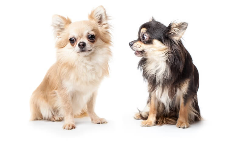 Pair of Two Long Haired Chihuahua Dogs