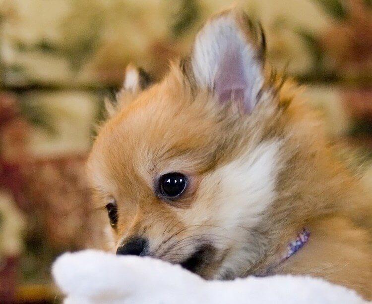 Pomchi Dog