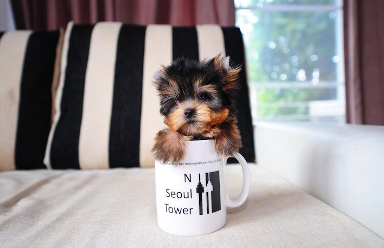 Teacup Yorkie Dog
