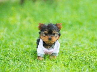 Teacup Yorkie Feature