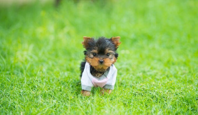 8aad68f3b56 Teacup Yorkie: A Pet Parent's Guide To This Tiny Toy Handbag Dog ...