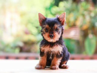 Teacup Yorkie What To Know Before Buying Cover