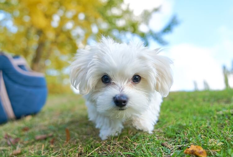 Toy Maltese Dog