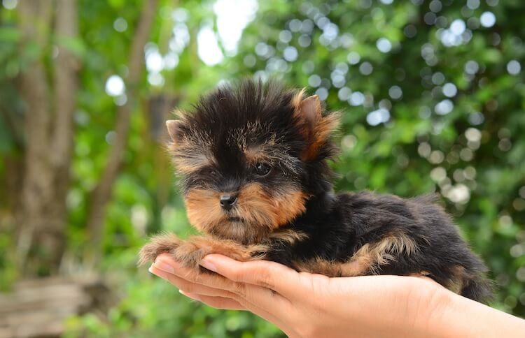 Teacup Yorkie A Pet Parents Guide To This Tiny Toy Handbag