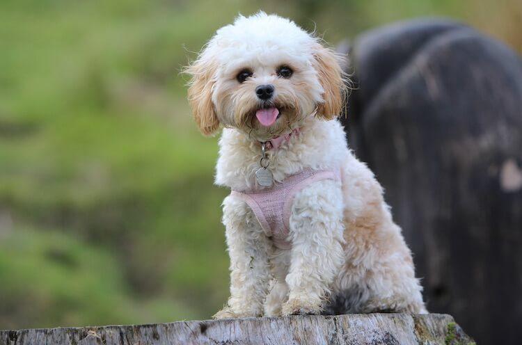maltese poodle mix dog
