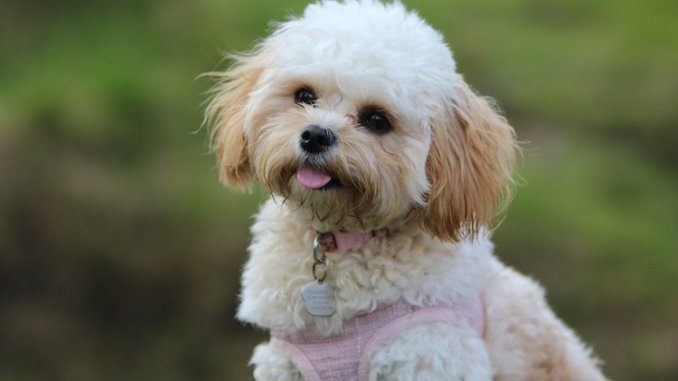 maltese poodle mix feature