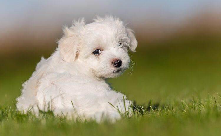 maltese poodle mix head