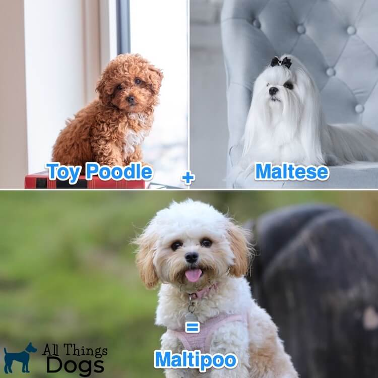 Maltese Poodle Mix The Ultimate Guide To The Mighty