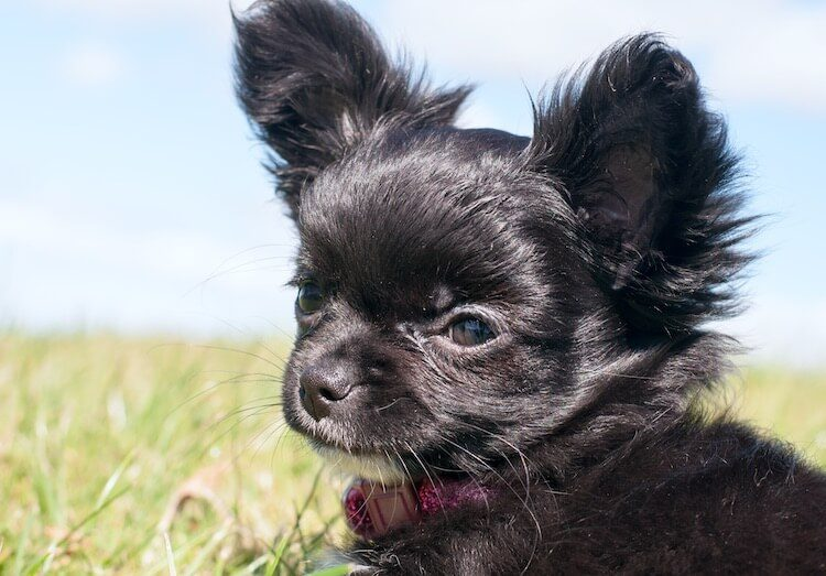 Black Teacup Chihuahua