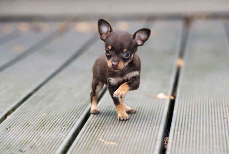 Teacup Chihuahua Puppies Lifespan