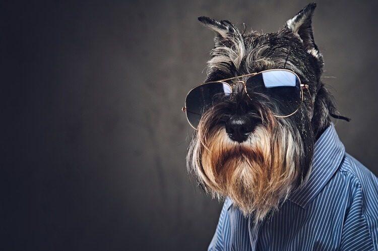 Funny Schnauzer Dog