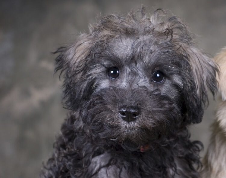 Schnoodle Dog Appearance