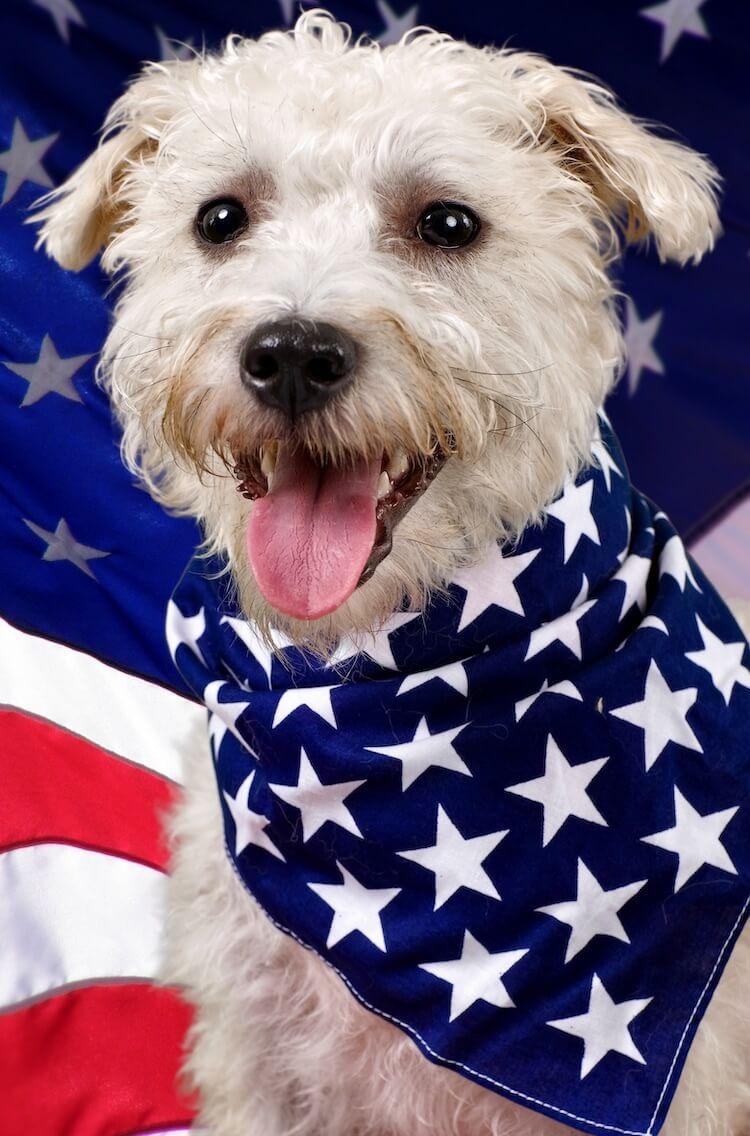 Schnoodle Dog Portrait