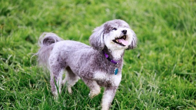 Schnoodle Dog Feature