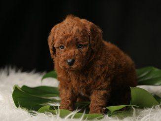 Teacup Poodle Feature