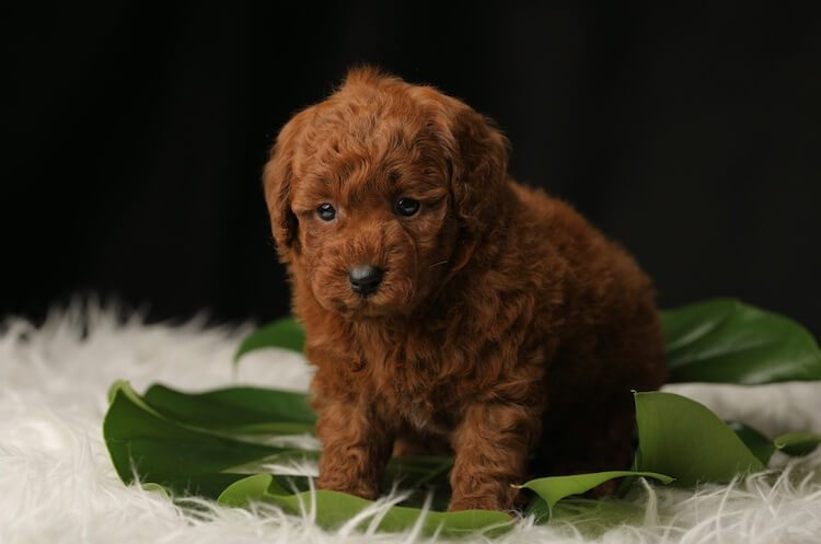Teacup Poodle: A Complete Guide To Micro, Teacup & Toy