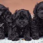 Three Teacup Poodle Puppies
