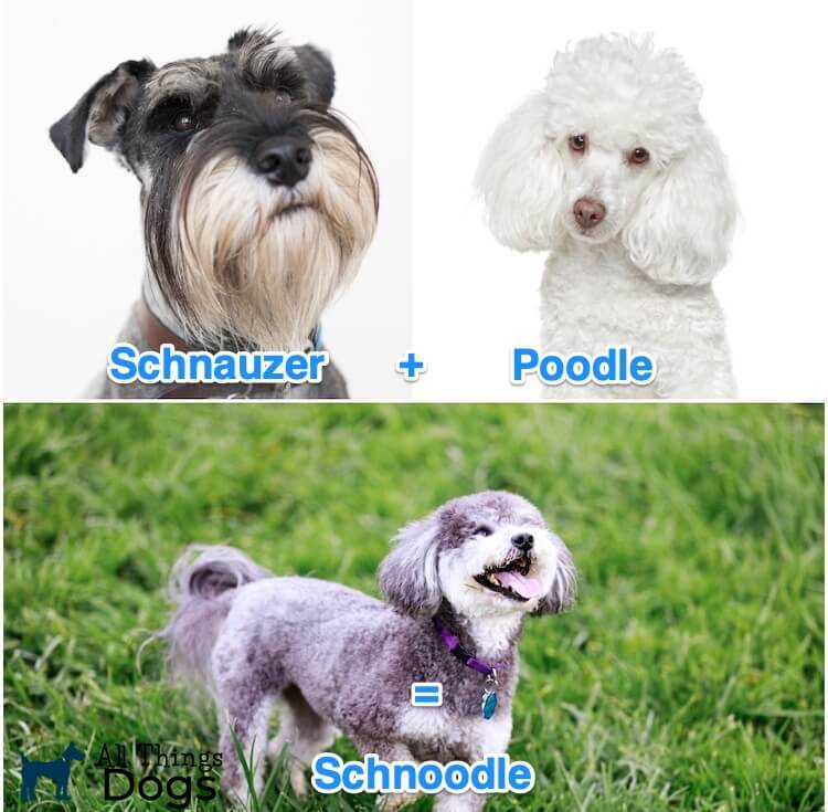 What is a Schnoodle Dog