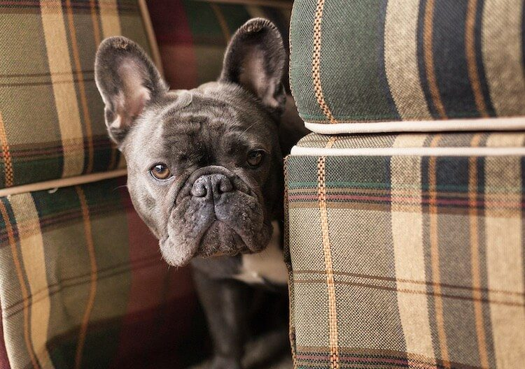 blue french bulldog appearance