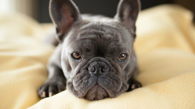 blue french bulldog feature
