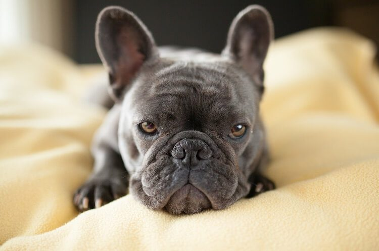 Blue French Bulldog Puppies Price Breeders Health