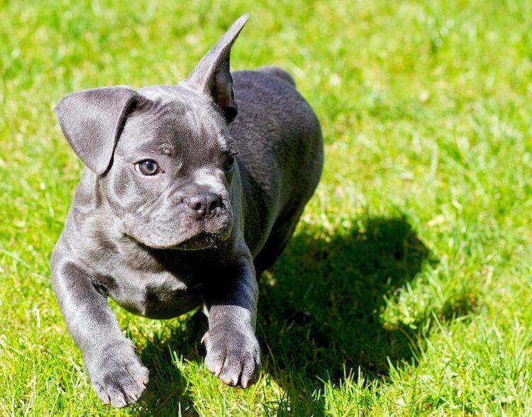 blue french bulldog puppy running
