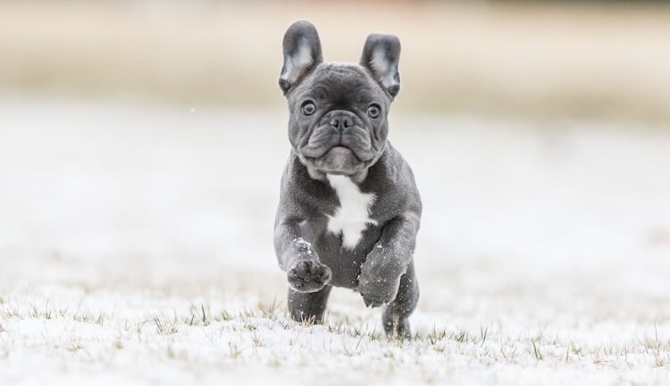 Blue French Bulldog: Puppies, Price, Breeders, Health