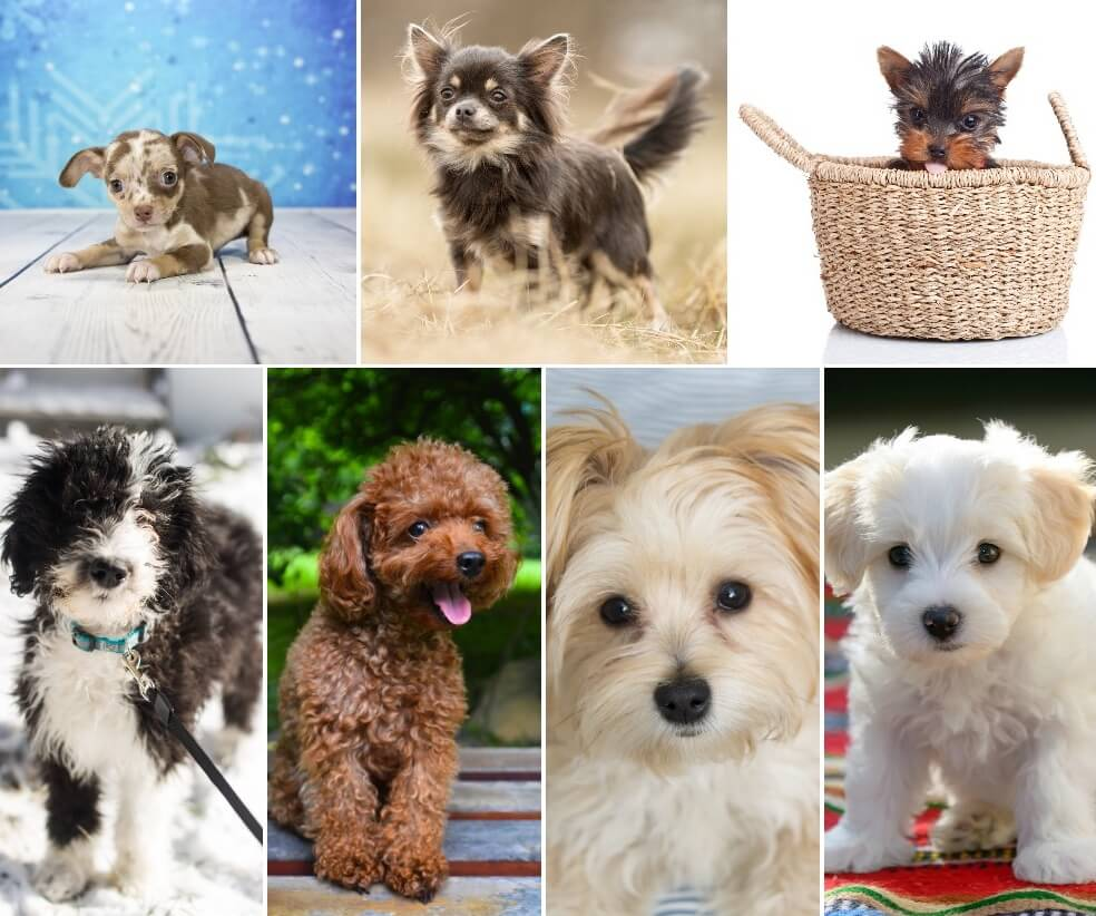 7 Most Popular Teacup Dogs