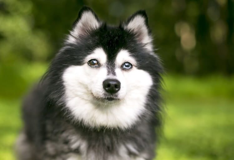 Alaskan Klee Kai Blue and Brown Eyes