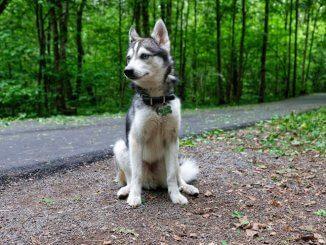 Alaskan Klee Kai Dog