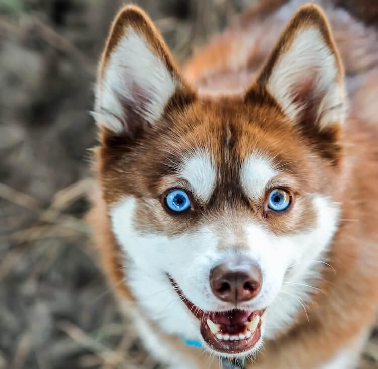 Alaskan Klee Kai Face