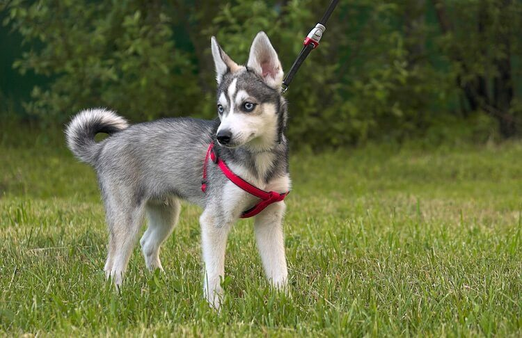 Alaskan Klee Kai Walking Outside