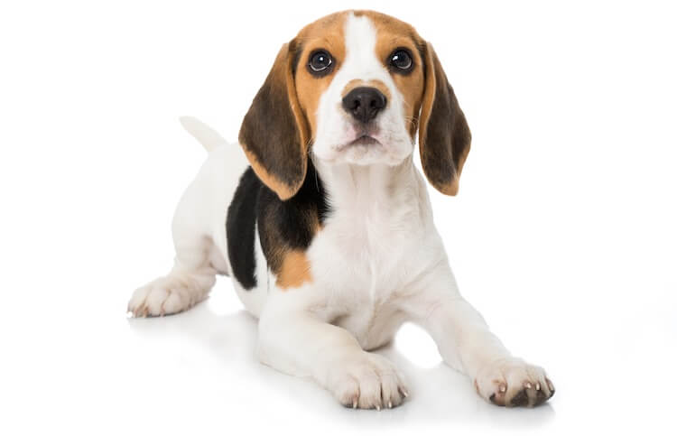 Everything You Need To Know About The Pocket Beagle All Things Dogs