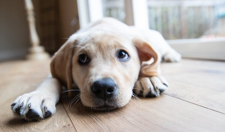 Best Yellow Lab Names