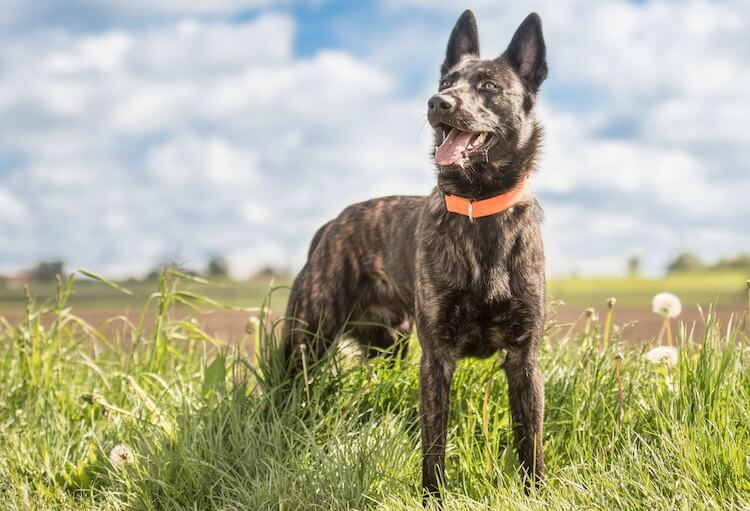 Blue German Shepherd The Complete Breed Profile All Things Dogs