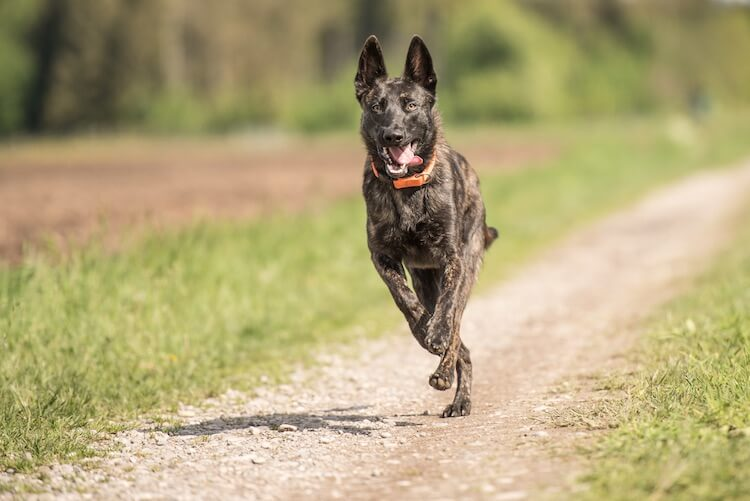 Blue German Shepherd Running