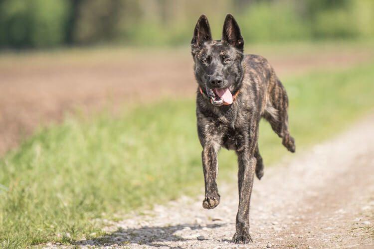 Blue Shepherd Dog